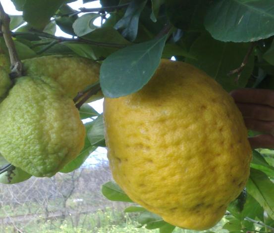 prodotti limoni agricola lanzafame